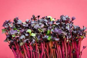Gartenkresse blutdrucksenkend